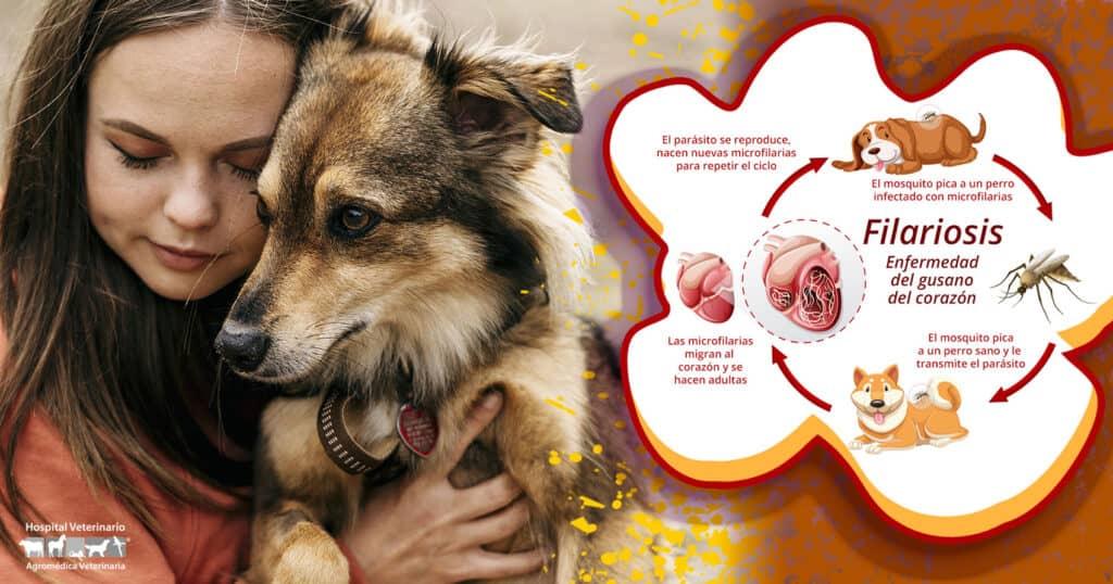 Filaria en perros, Enfermedad Filaria, Gusano del corazón
