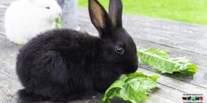 Cómo cuidar a los conejos como mascotas