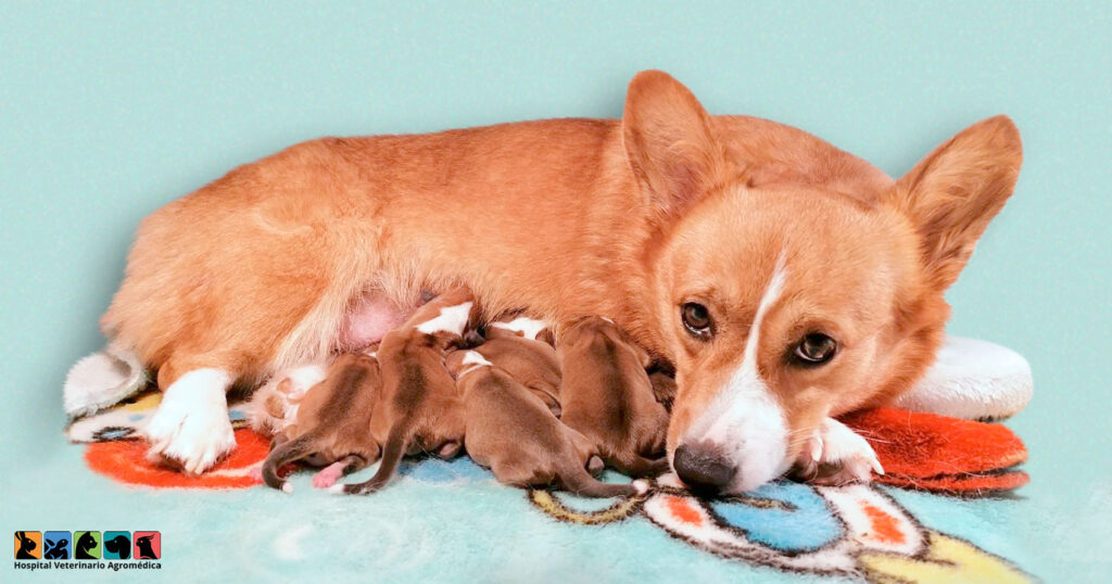 El embarazo en los perros